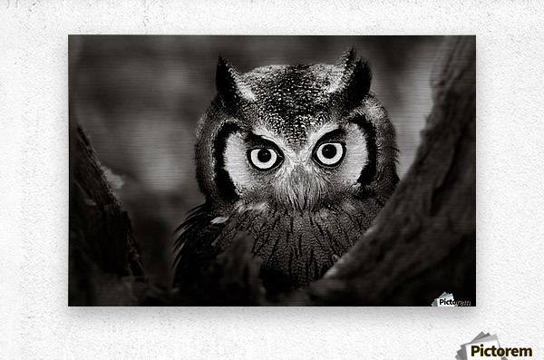 Whitefaced Owl close-up  Metal print