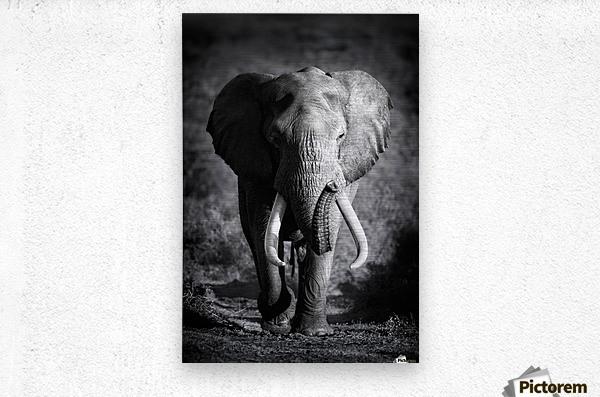 Elephant Bull  Metal print