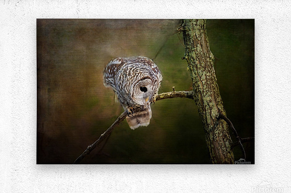 Barred Owl Eyeing Prey.  Metal print