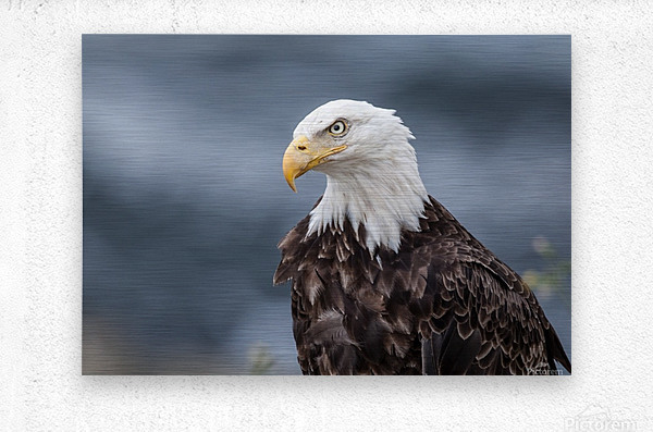 Portrait of an Eagle  Metal print