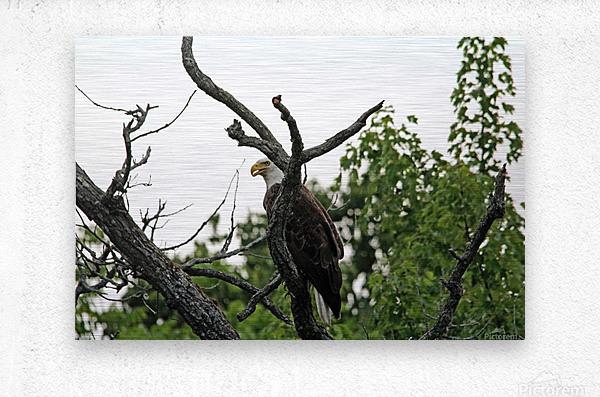 Fierce Bald Eagle  Metal print