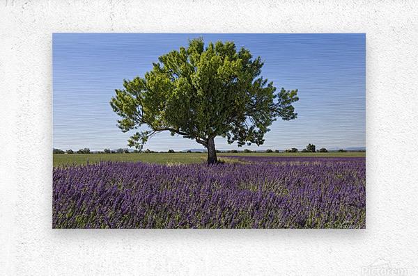 Tree in a lavender field  Metal print