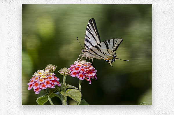 Scarce swallowtail butterfly  Metal print