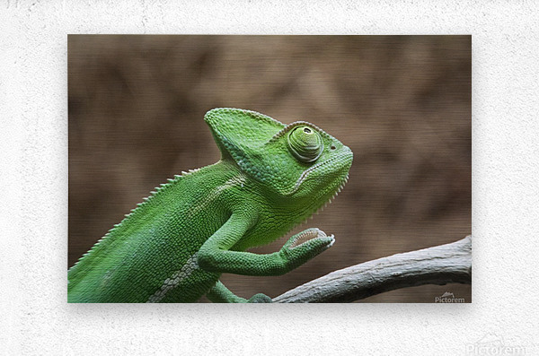 Funny pose of a chameleon  Metal print