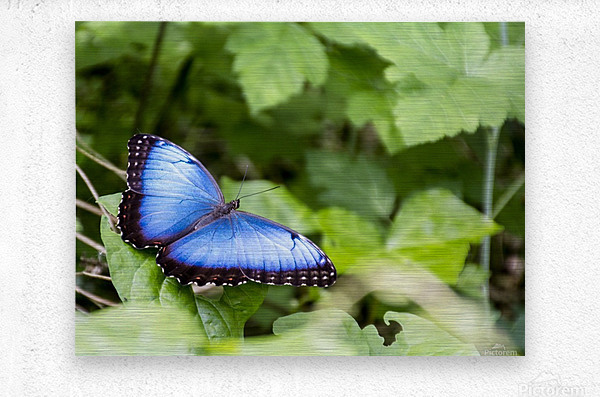 Morpho peleides butterfly  Metal print