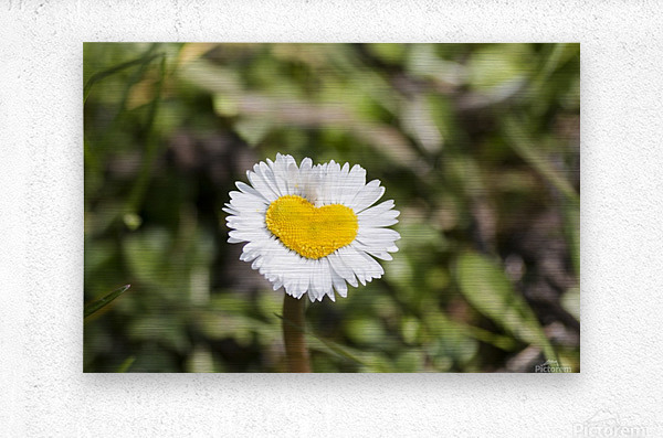Heart shaped daisy  Metal print