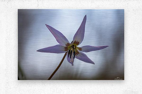 Dogtooth violet  Metal print