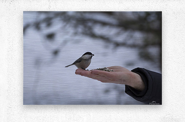 A bird on the hand  Metal print