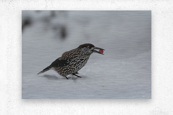 Spotted nutcracker in the snow  Metal print