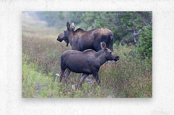Mom and Calf Moose  Metal print