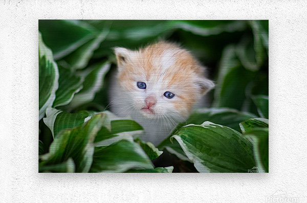 Orange Kitten  Metal print