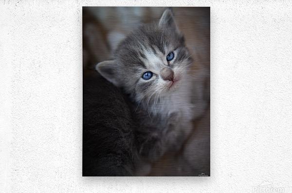 Gray Kitten  Metal print