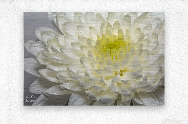 White mum flower with water droplets  Metal print