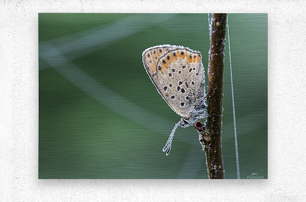 Lycaena tytirus butterfly  Metal print