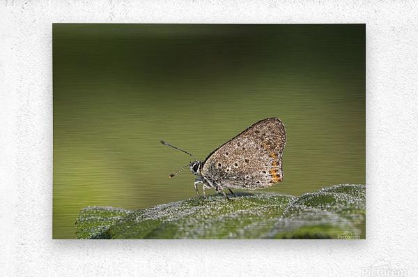 Lycaena tytirus butterfly  Metal print