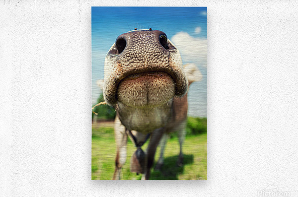 funny nose of a curious cow  Metal print