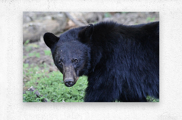 2350- black bear  Metal print