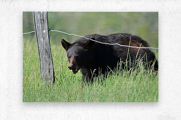 2966-Black Bear  Metal print