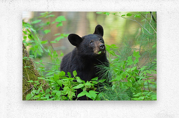 3597-Black Bear  Impression metal