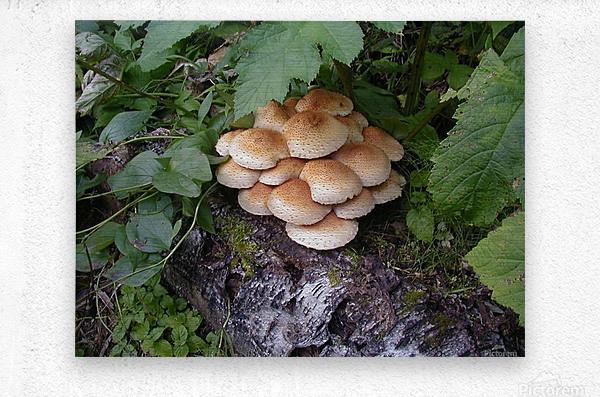 Bun Mushrooms  Metal print