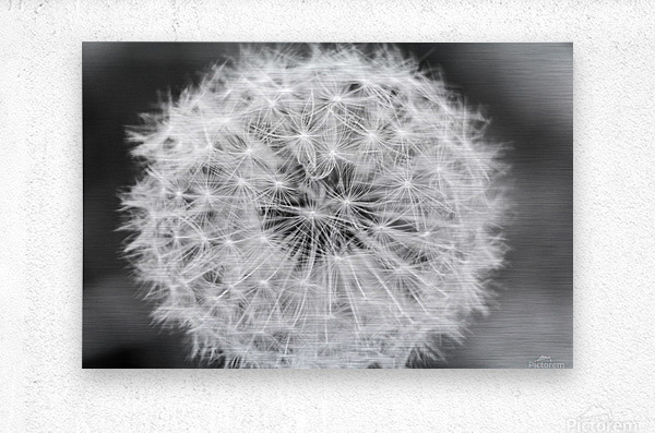 Dandylion black and White  Metal print
