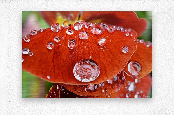 Raindrops On Orange Pansy Petal Photograph  Metal print
