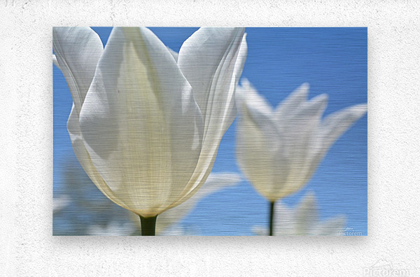 White Tulip Photograph  Metal print