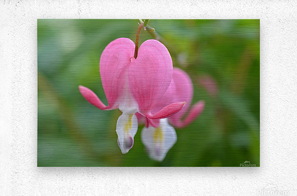 Bleeding Heart Flower Photograph  Metal print