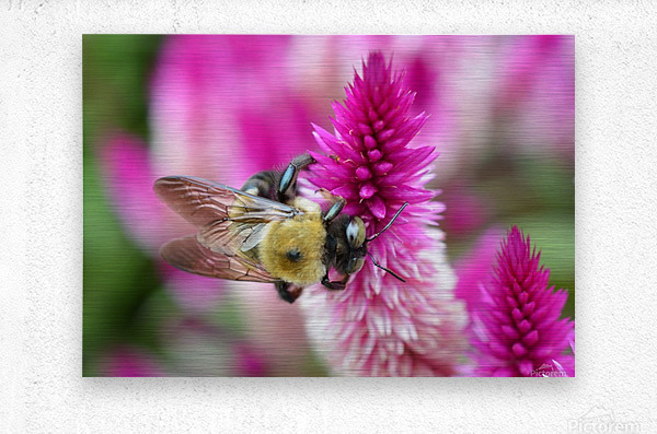 Bee On Pink Flower Photograph  Metal print