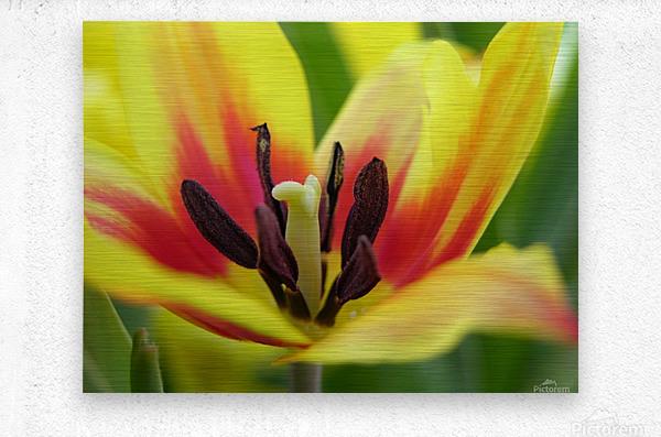 Yellow Tulip Photograph  Metal print