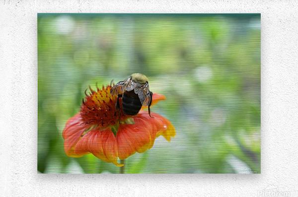 Bee On Orange Flower Photograph  Metal print