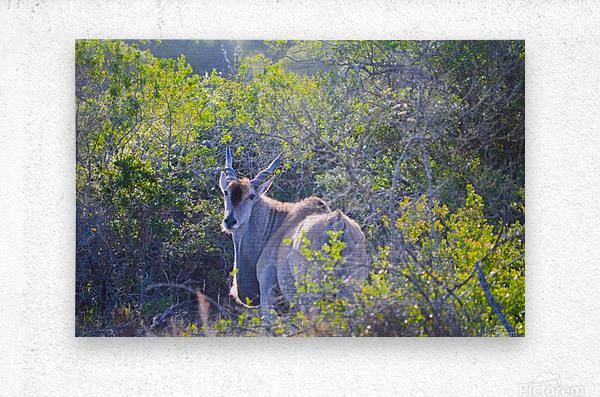 Deer Posing for Photo  Metal print