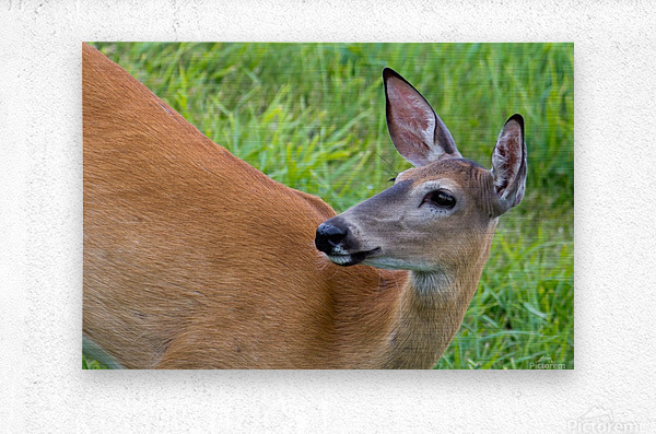 Summer Doe  Metal print
