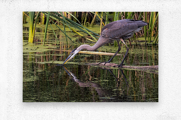 Great Blue Heron taking a Sip  Metal print