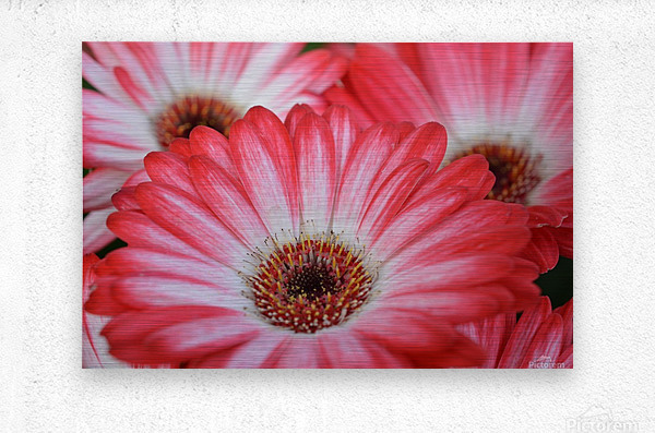 Red & White Flower Photograph  Metal print