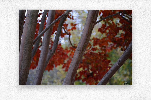 Fall Foliage Photograph  Metal print
