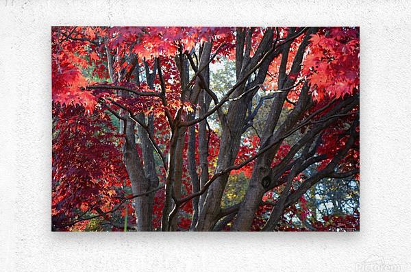 Beautiful Red Fall Foliage  Metal print