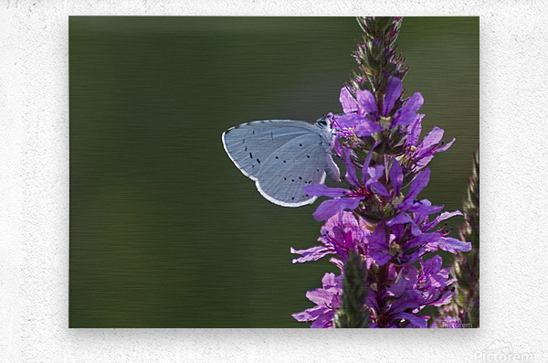 Butterfly on a flower  Metal print