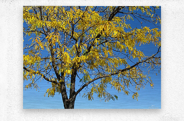 Beautiful Yellow Fall Foliage  Metal print