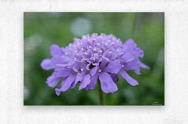 Purple Pincushion Flower Photograph   Metal print