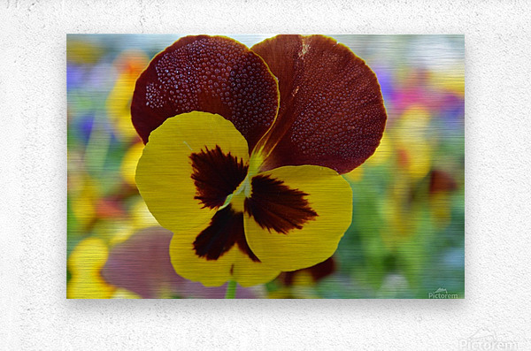 Yellow Pansy Covered In Due Drops  Metal print