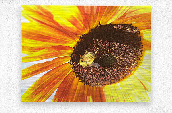 Bumblebee on Sunflower  Metal print