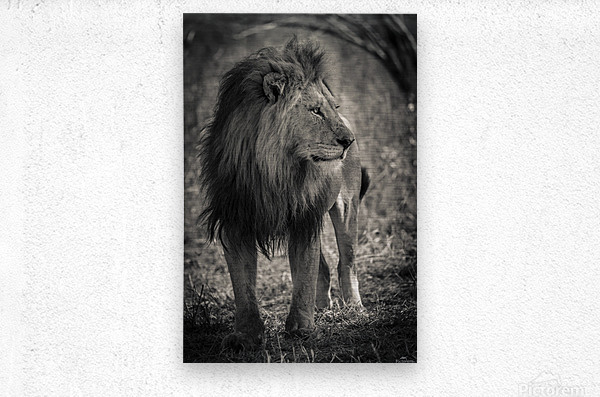 The King of South Africa - 3  Metal print
