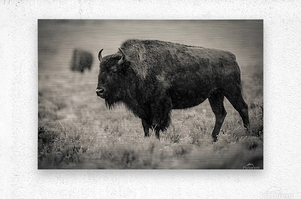 Bison of the Far West  Metal print