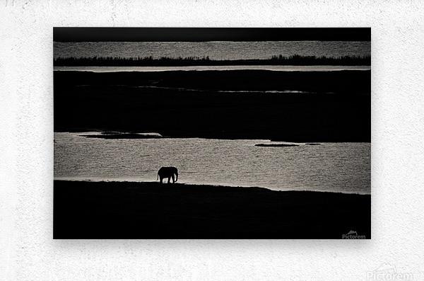 Chobe River Elephant  Metal print
