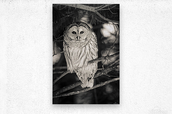 Spotted Owl - 2  Metal print