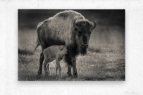 Bison love  Metal print