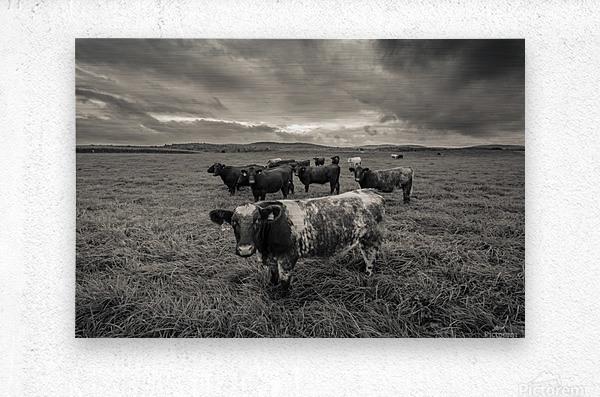 Cowscape  Metal print