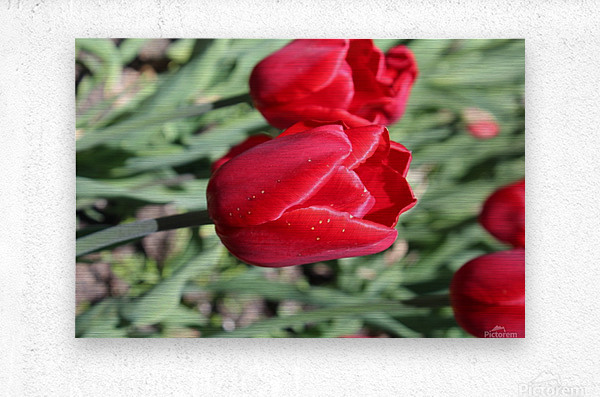 Tulips Red  Metal print