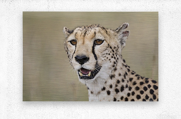 Cheetah Portrait by www.jadupontphoto.com  Metal print